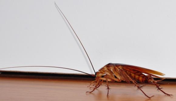 Cockroach-closeup-left-side